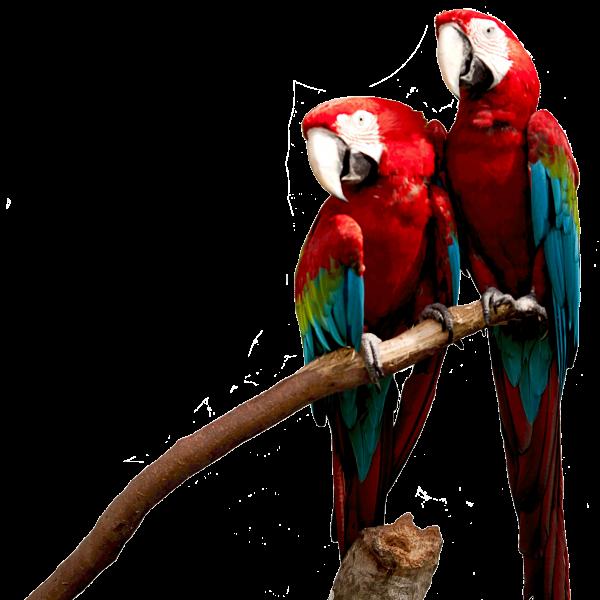 Groenvleugel ara (Ara chloropterus)