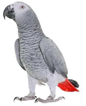 Grijze Roodstaart Papegaai (Psittacus erithacus)