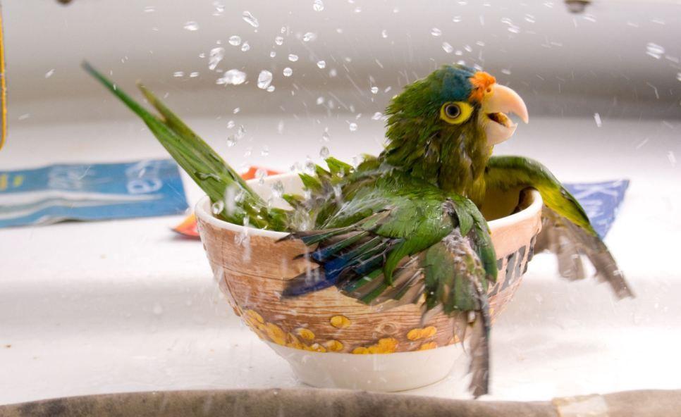 Hittegolf kromsnavel papegaai parkiet badderen